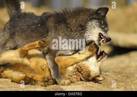 Le loup gris d'Europe (Canis lupus lupus), le loup bataille dans la période d'accouplement, Allemagne Banque D'Images