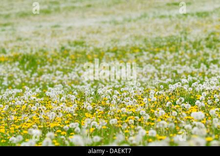 Le pissenlit officinal (Taraxacum officinale), prairie pleine de fleurs de pissenlit et têtes de graine, Allemagne