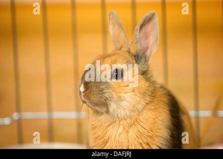 Lapin nain (Oryctolagus cuniculus f. domestica), les jeunes lapins nains assis dans une cage pour animaux, Allemagne