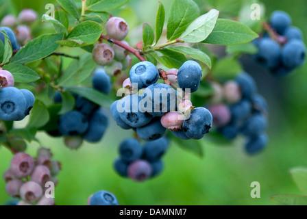 Haut de bleuet, le bleuet en corymbe, marécage (Vaccinium corymbosum 'Toro', Vaccinium corymbosum Toro), le cultivar Banque D'Images