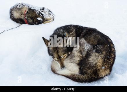 Deux huskies de Sibérie dans la neige, la Suède Banque D'Images