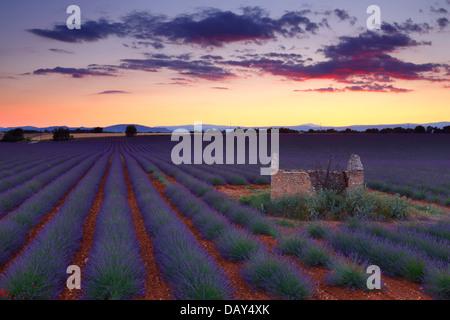 Champ de lavande au coucher du soleil. Provence, France. Banque D'Images