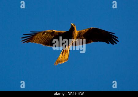 Milan noir (Milvus migrans) en vol, Queensland, Australie