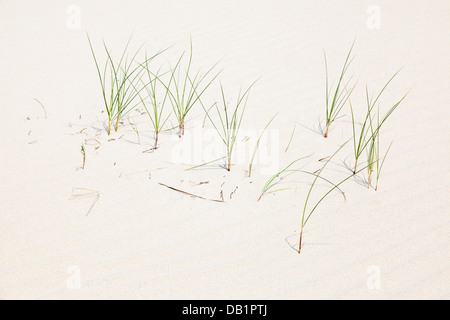 Quelques brins d'herbe poussant sur une dune de sable à la mer du Nord en Norderney, Allemagne.