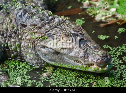 Caïman à lunettes (Caiman crocodilus) Banque D'Images