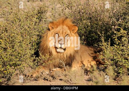 Grand mâle African lion (Panthera leo), Afrique du Sud Banque D'Images