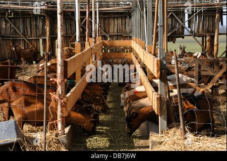 Chèvres laitières feeeding dans une grange sur une ferme biologique Banque D'Images