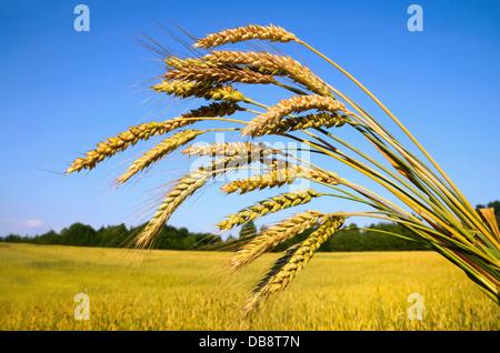 Blé mûr contre un ciel et farm field Banque D'Images
