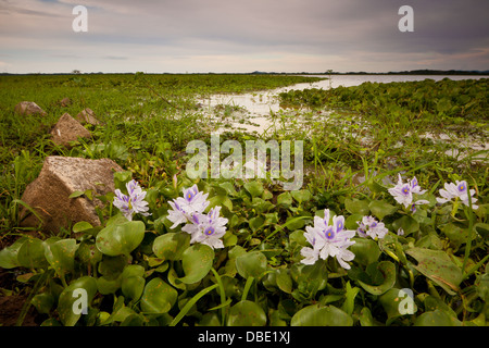 Fleurs de lis dans les marécages Refugio de Vida Silvestre La Ciénaga las Macanas Nature Reserve, Herrera province, Banque D'Images