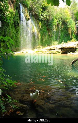 Duck jouant dans flux de kursunlu cascade en Turquie Banque D'Images
