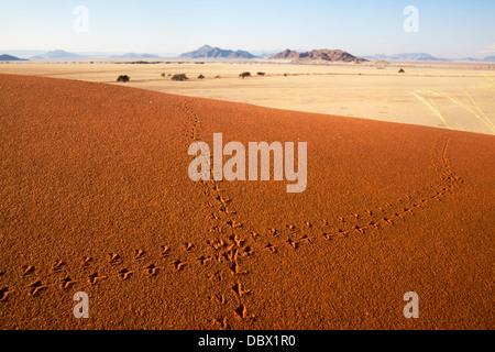 Des pistes d'animaux dans le sable, le désert de Namib, Namibie, Mai 2013 Banque D'Images