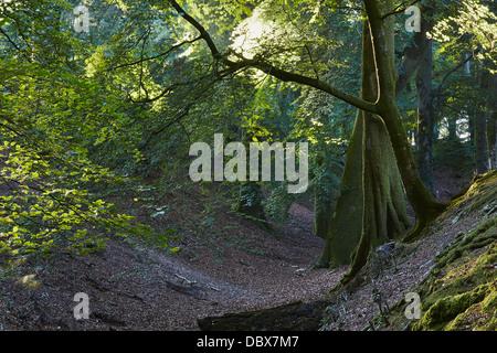 Les hêtres poussant sur le sol en terre 'remparts' de la préhistoire château, près de Woodbury Woodbury, près d'Exeter, Banque D'Images