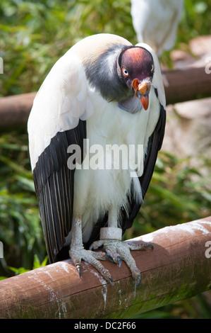 Un vautour pape (Sarcoramphus papa) au parc d'animaux sauvages des lacs du sud Banque D'Images