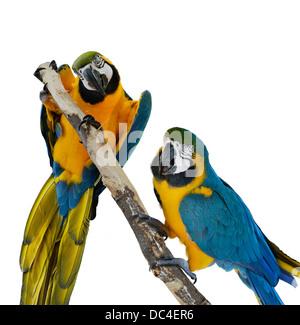Perroquets Ara bleu sur fond blanc Banque D'Images