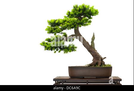 Jey japonais comme arbre de bonzaies est isolé blanc