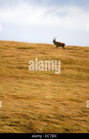 Red Deer (Cervus elaphus, seul mâle adulte marche sur une colline herbeuse. Prises d'octobre. Isle of Jura, Argyll, Banque D'Images