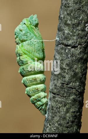 E black swallowtail Butterfly Papilio polyxenes nymphe juste après le licenciement c'est peau E USA