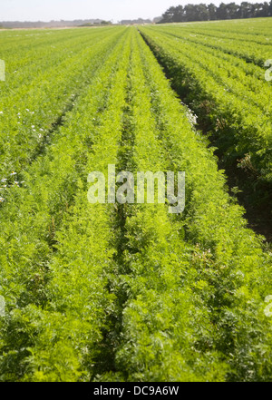 Carottes récolte champ croissant Shottisham, Suffolk, Angleterre Banque D'Images