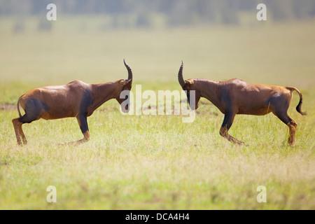 Tsessebe ou Damaliscus lunatus jimela (Sassaby), deux combats de taureaux Banque D'Images