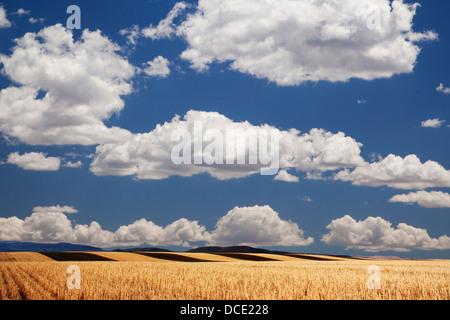 USA, Colorado. Paysage de champs de blé dans la partie occidentale de l'état. Banque D'Images