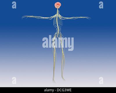 Système nerveux central avec cerveau humain. Banque D'Images