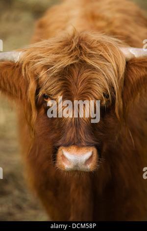 Gros plan de vache Banque D'Images