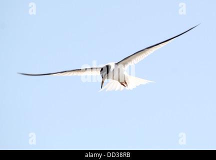 Sterne naine (Sternula albifrons) en vol contre un ciel bleu Banque D'Images