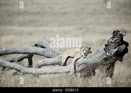 Lion se pose sur un arbre Serengeti . La Tanzanie. Afrique du Sud Banque D'Images