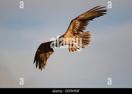 Lagermeier immatures lic) voler à une station d'alimentation d'oiseaux nécrophages, Espagne Banque D'Images