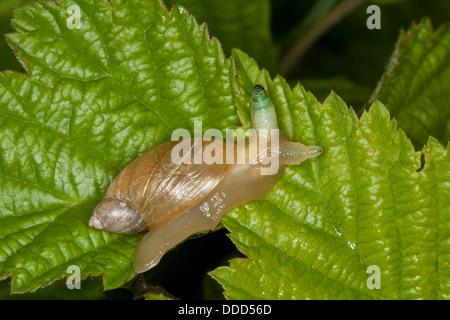 Escargot, lamber, O. h. kanabensis green-broodsac bernsteinschnecke, bagués, succinea putris, saugwurm, leucochloridium Banque D'Images