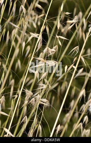 Avena fatua, l'avoine sauvage, espèce d'herbe dans le genre d'avoine. Torrelles de Llobregat, Barcelone, Catalogne, Banque D'Images