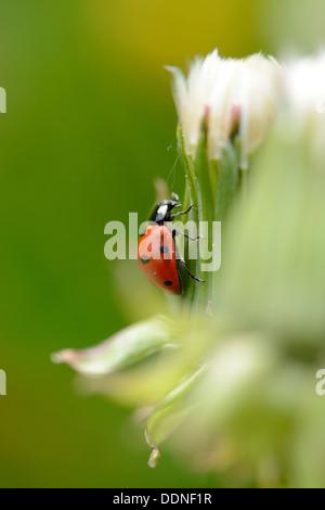 7-spot coccinelle (Coccinella septempunctata) sur une plante Banque D'Images