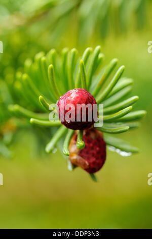 L'Épinette blanche Picea glauca à cône en fin de branch Banque D'Images