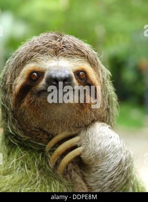 Libre d'un trois-toed sloth, Costa Rica Banque D'Images