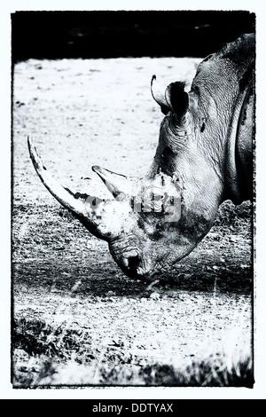 Seul le pâturage white rhino: Détail de la tête, vue de côté en monochrome stylisée, le lac Nakuru, Kenya Banque D'Images