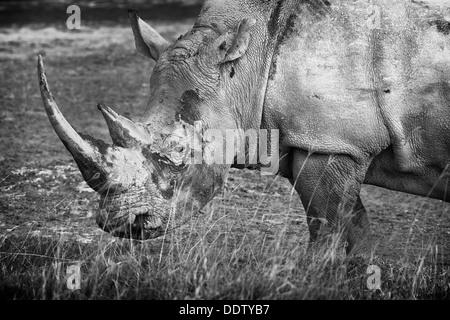 Seul le pâturage white rhino: Détail de la tête et l'avant, vue de côté en monochrome, le lac Nakuru, Kenya Banque D'Images