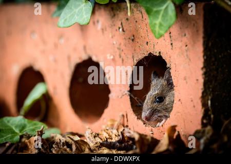 Se cacher à l'intérieur d'une souris en bois brique maison Banque D'Images