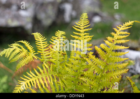 Fougère Pteridium aquilinum en couleurs automnales UK Teesdale Banque D'Images
