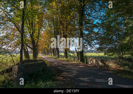Humeur d'automne, allée bordée de marronniers d'inde en Moenchbruch réserve naturelle, près de Francfort, Hesse Banque D'Images