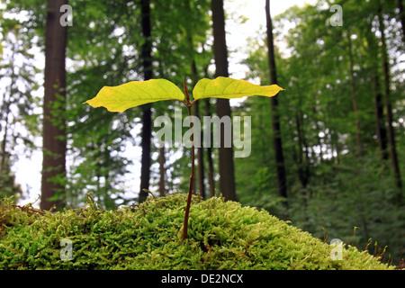 De plus en plus des semis de hêtre sur mousse, image symbolique pour les forêts naturelles, des forêts naturelles, la régénération naturelle