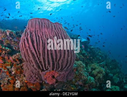 Coral reef seascape dotée de grandes éponges baril bleu rouge avec fond de l'eau. Verde Island, Philippines. Banque D'Images