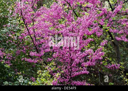 arbre de jud e cercis siliquastrum d 39 arbres en fleurs banque d 39 images photo stock 47946068. Black Bedroom Furniture Sets. Home Design Ideas