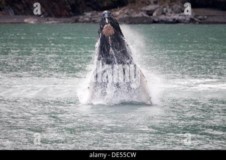 Baleine à bosse - Megaptera novaeangliae -, Kenai Fjords National Park, Alaska, États-Unis d'Amérique Banque D'Images