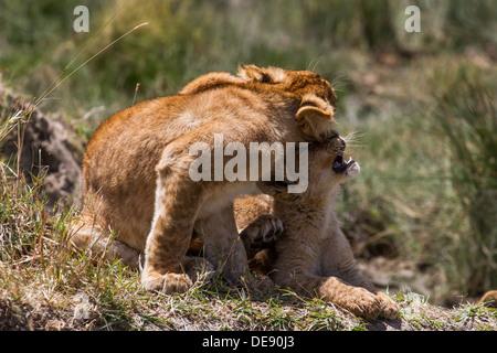 Cute des lionceaux, montrer de l'affection (Serengeti)