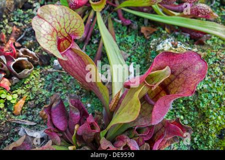 Sarracénie pourpre carnivores / le nord de sarracénies / Side Saddle-fleur (Sarracenia purpurea), originaire d'Amérique du Nord
