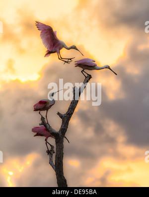 Roseate spoonbill Platalea ajaja, est communément appelé le Flamingo Cajun Banque D'Images