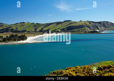 L'ajonc, entrée du port d'Otago, et Aramoana, Dunedin, Otago, île du Sud, Nouvelle-Zélande