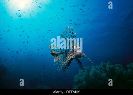 Rascasse volante (Pterois volitans). Mer Rouge. L'Égypte Banque D'Images