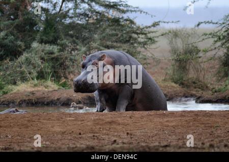 Hippopotame (Hippopotamus amphibius), ou d'Hippone. Parc national du lac Manyara, Tanzanie, Afrique de l'Est Banque D'Images