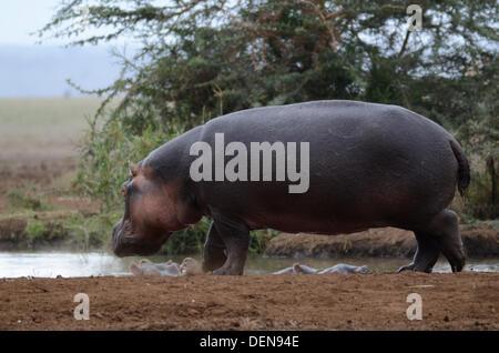Hippopotame (Hippopotamus amphibius), ou d'Hippone. Lake Manyara national park, la Tanzanie, l'Afrique de l'Est Banque D'Images